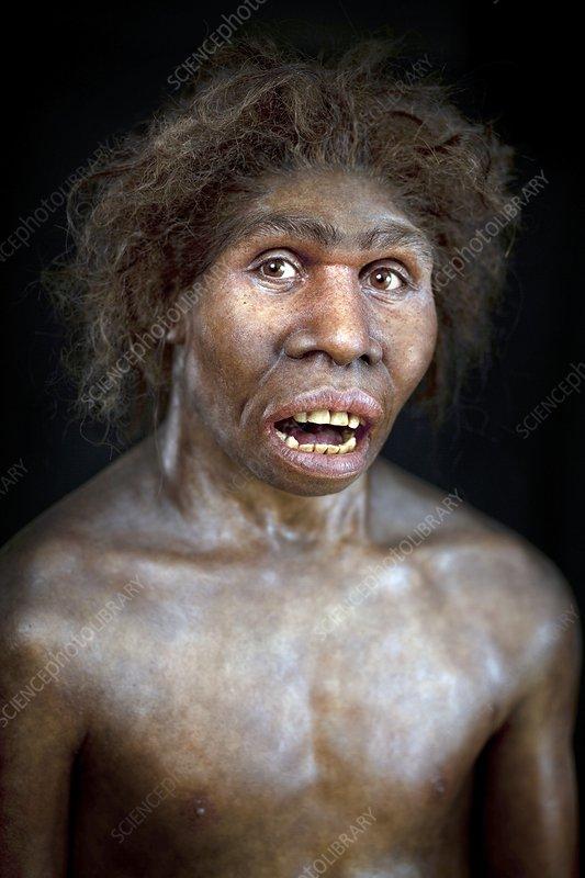 530_Turkana Boy model - Stock Image C020/8140 - Science Photo Library