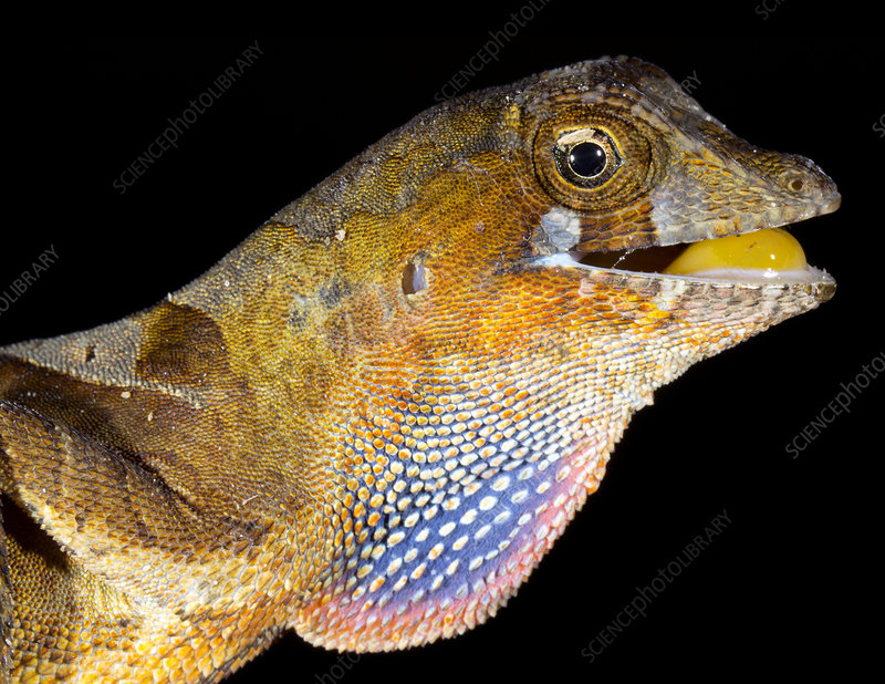 Yellow-tongued anole displaying dewlap