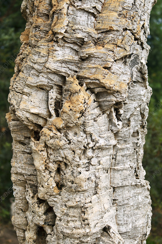 Bark of cork oak (Quercus suber)