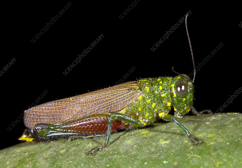 Large rainforest grasshopper