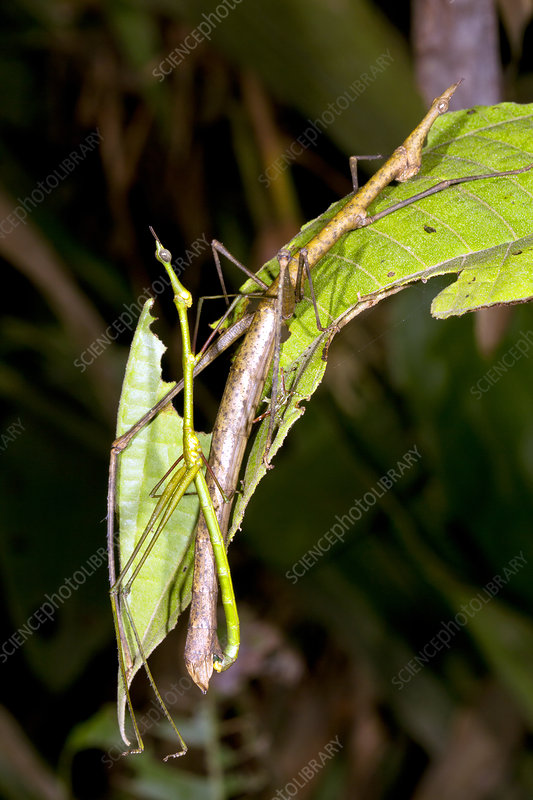 Stick grasshoppers mating