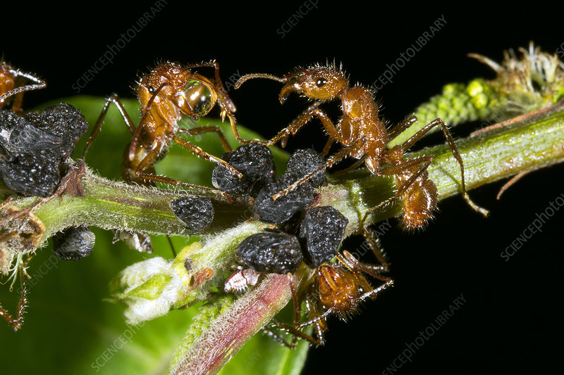 Ants harvesting leafhopper honeydew