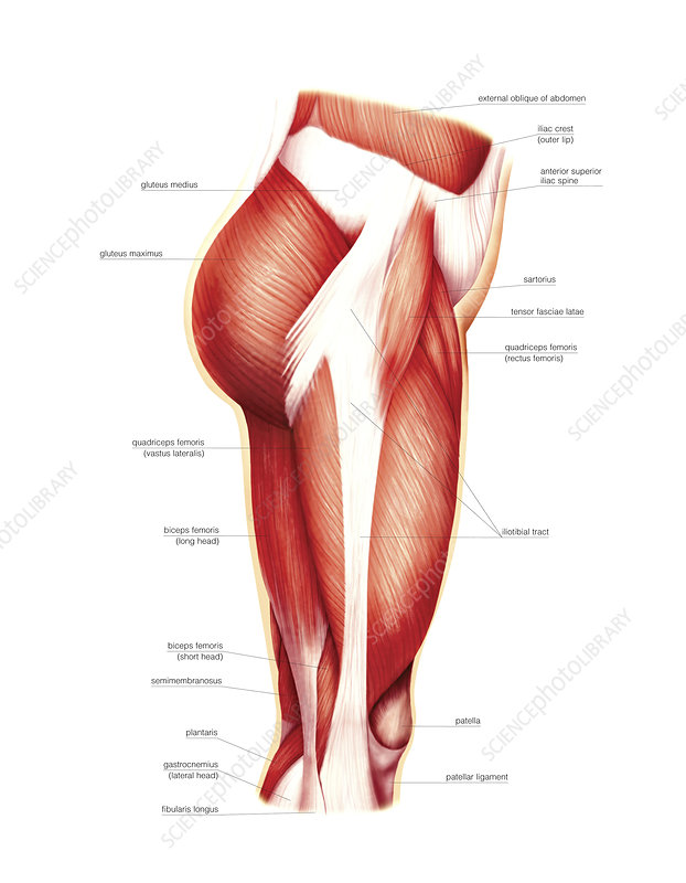 Muscles of the thigh, artwork