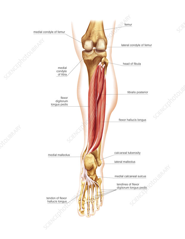 Muscles of the leg and foot, artwork