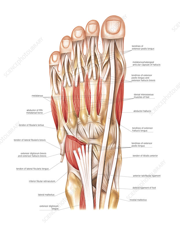Muscles of the foot, artwork