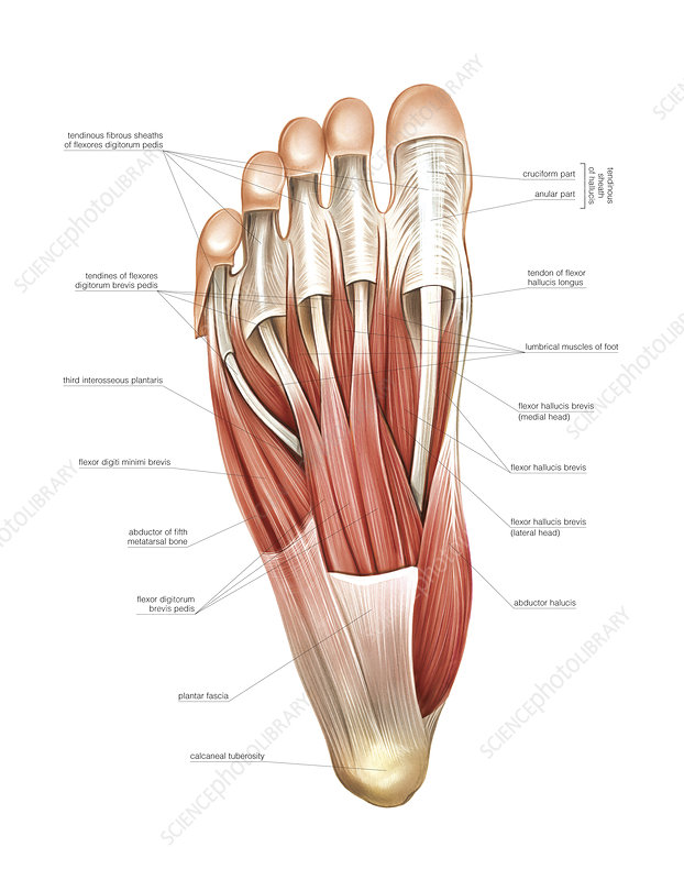 Interosseous muscles of the foot, artwork