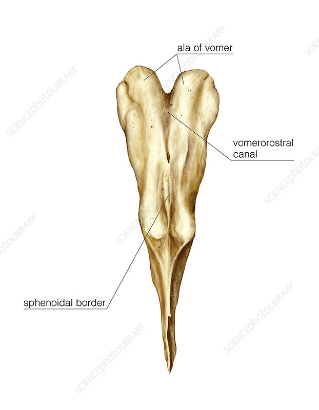 Vomer, Lacrimal and nasal bones, artwork - Stock Image C020/8441 ...