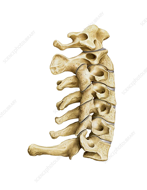Vertebral Column, artwork