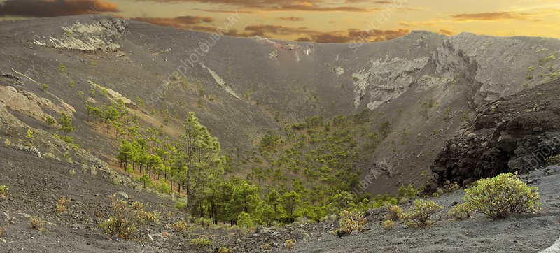 Canary Island pines in volcanic caldera