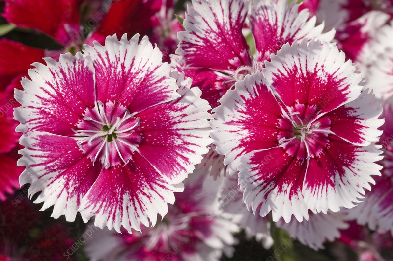 Dianthus 'Summer Splash' flowers