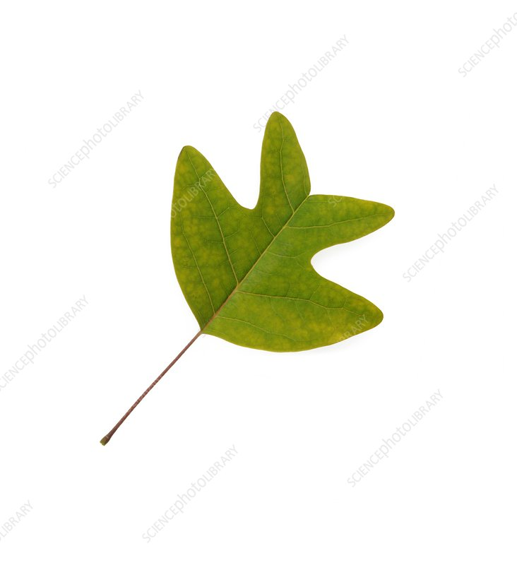 Chinese tulip tree leaf