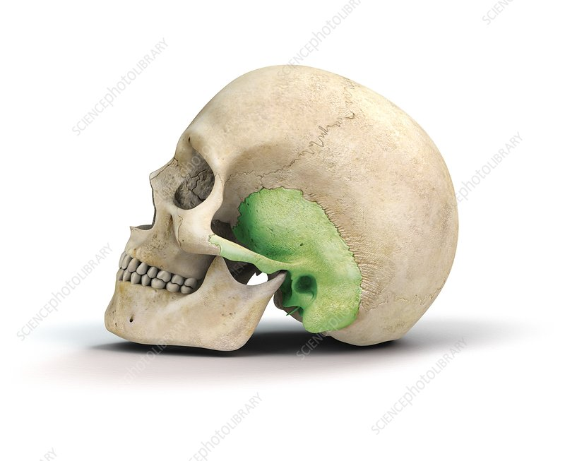 Human skull and temporal bone, artwork