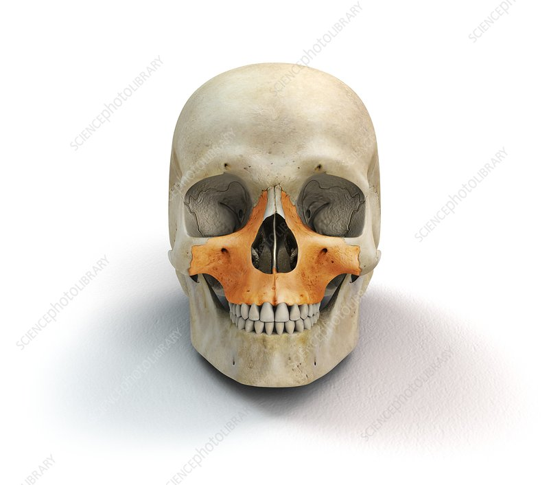 Human skull and maxilla bones, artwork