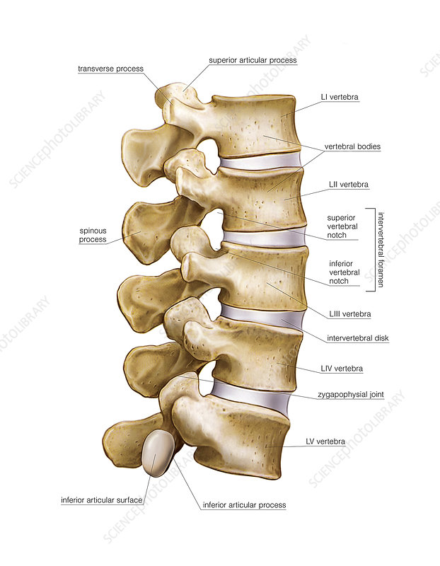 Lumbar part of vertebral column, artwork