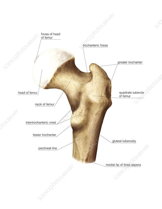 Proximal extremity of femur, artwork - Stock Image C020/9161 ...