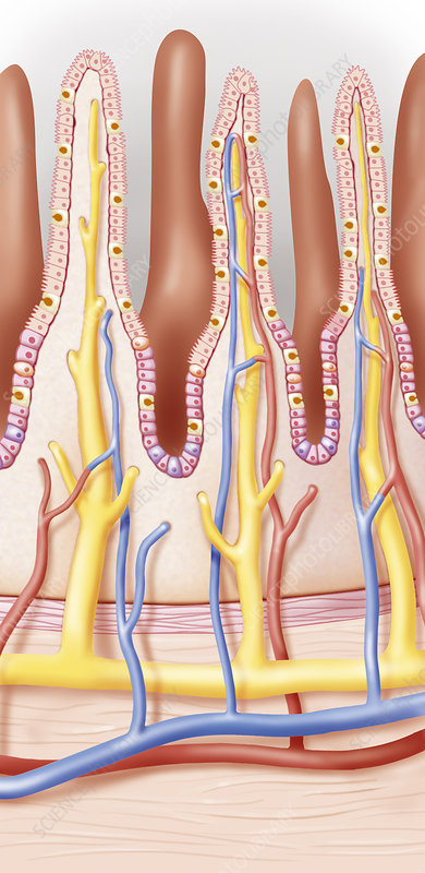 Intestine, Drawing