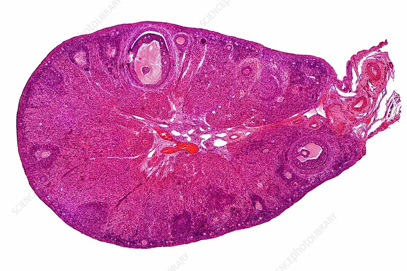 Cat ovary, light microgrpah