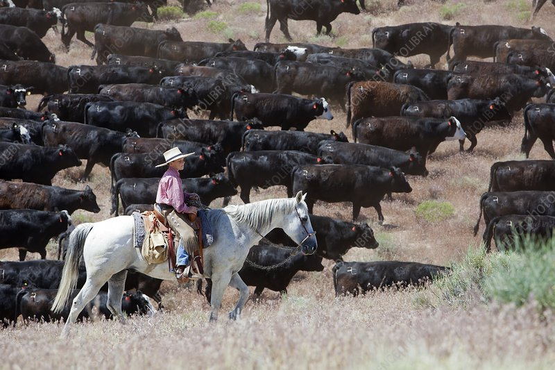 Nevada cowboy herding cattle