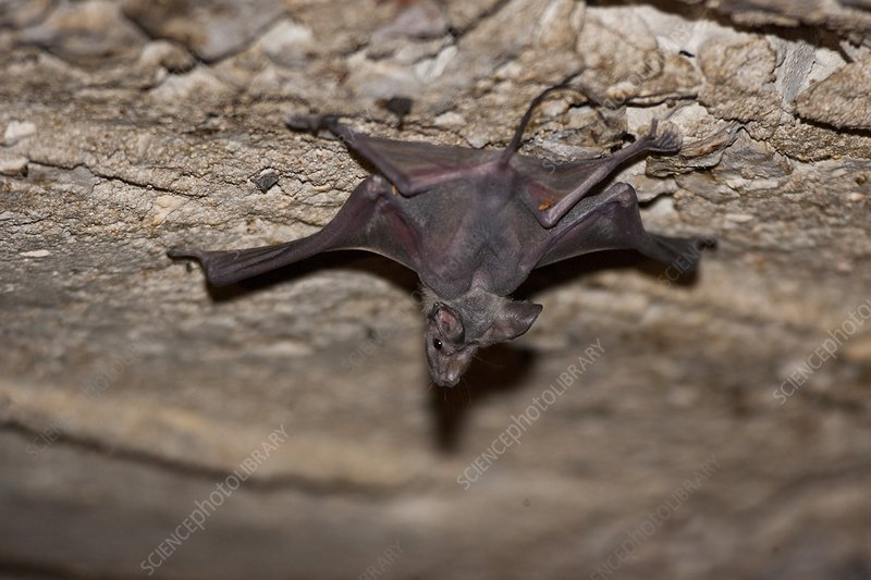 Larger Mouse-Tailed Bat