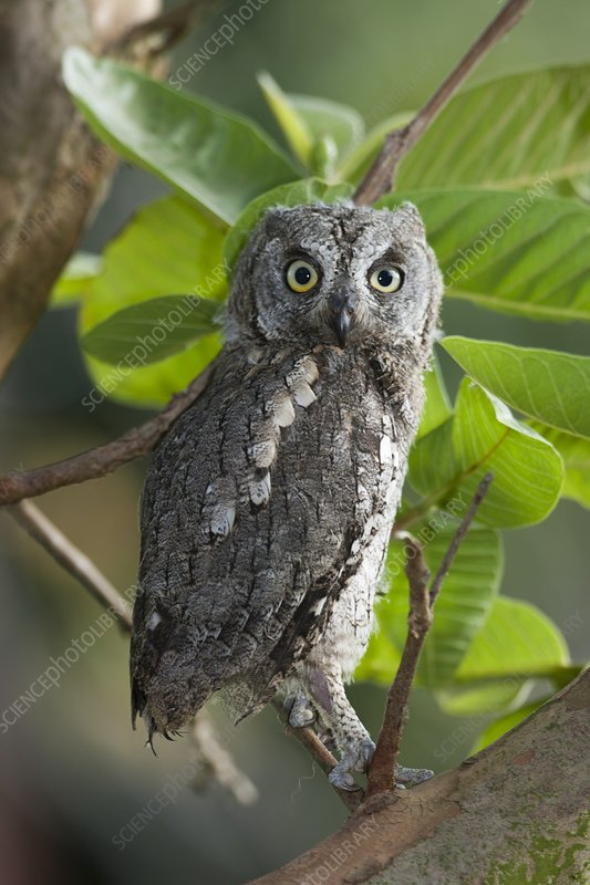 European Scops Owl (Otus scops)