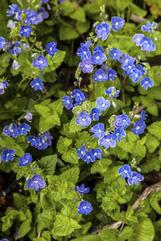 Germander Speedwell (Veronica chamaedrys)