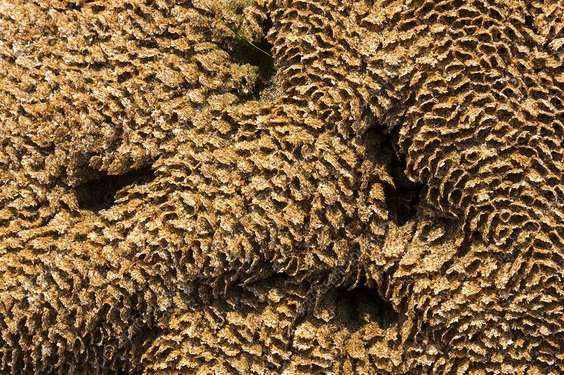 Honeycomb Worm reef close up
