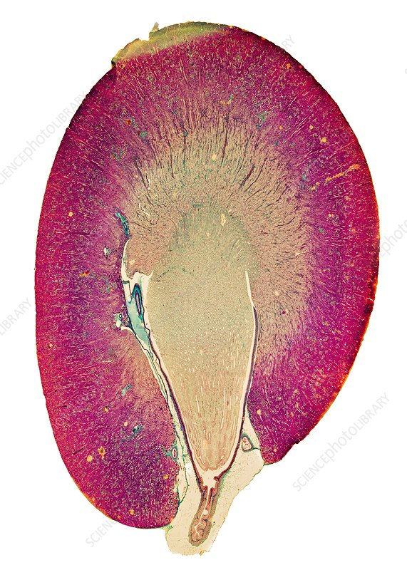 Kidney, light micrograph