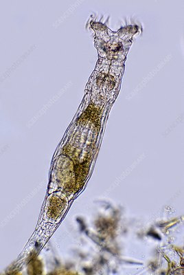 Rotifer, light micrograph