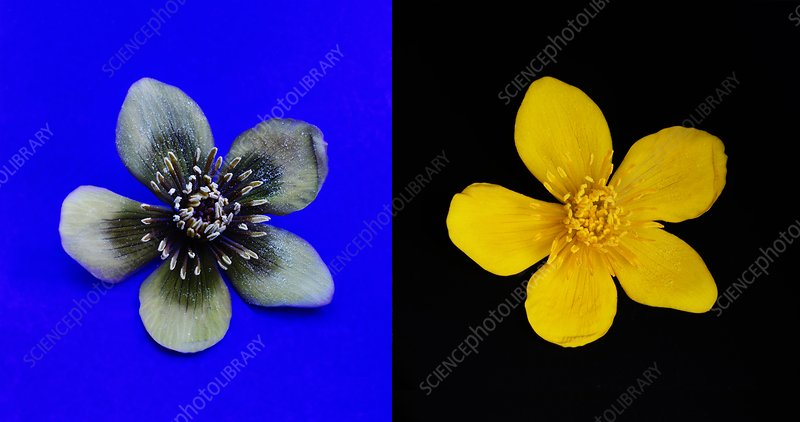 Marsh marigold in uv light and daylight
