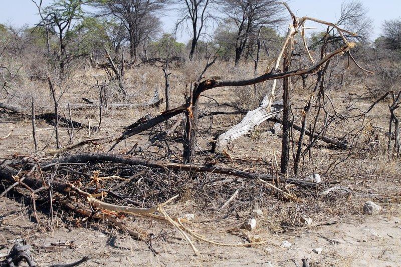 Elephant-damaged trees