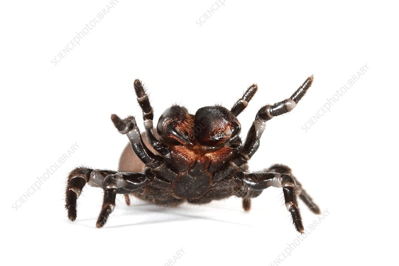 Eastern mouse spider
