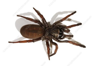 Sydney brown trapdoor spider