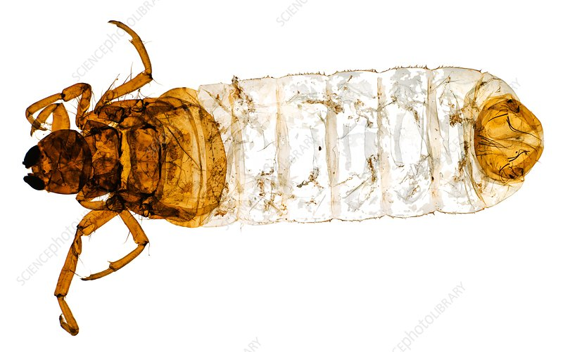 Caddisfly larva, light micrograph