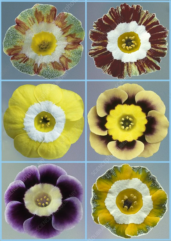 Auriculas (Primula auricula)