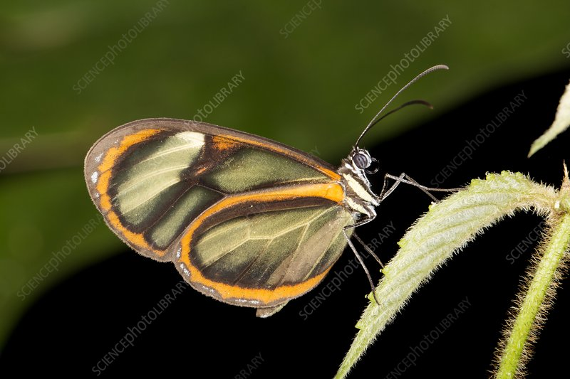 Ithomine butterfly