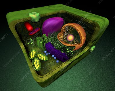 Plant cell, artwork
