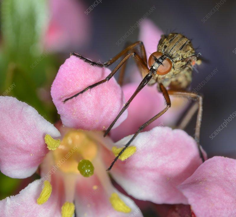 Macro photograph of a dagger fly