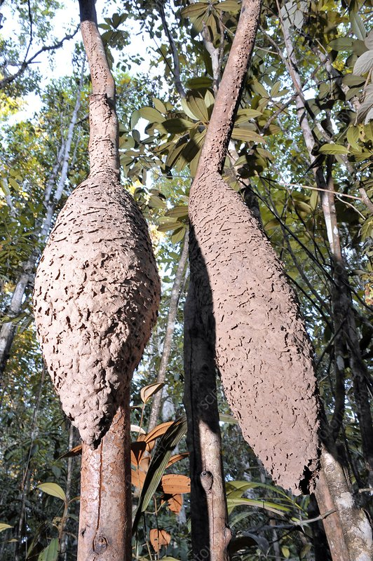 Ant colonies in a tree
