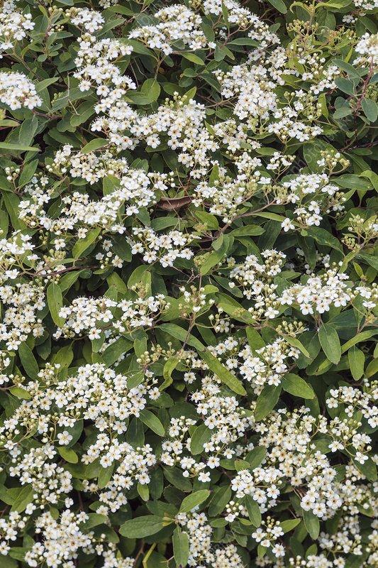 Spiraea lancifolia