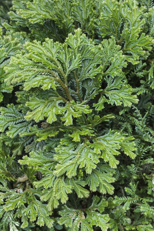 Selaginella martinsii