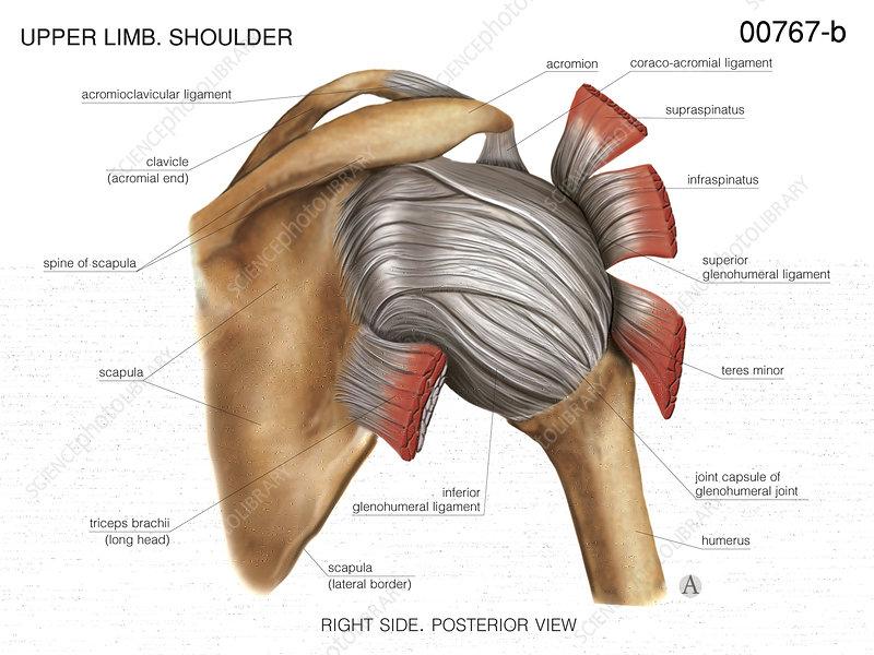 Shoulder joint, artwork