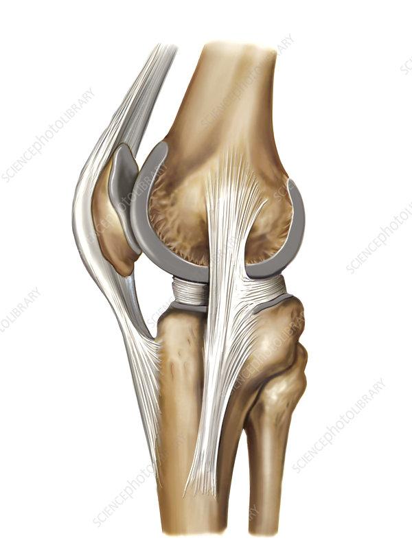Knee joint, artwork
