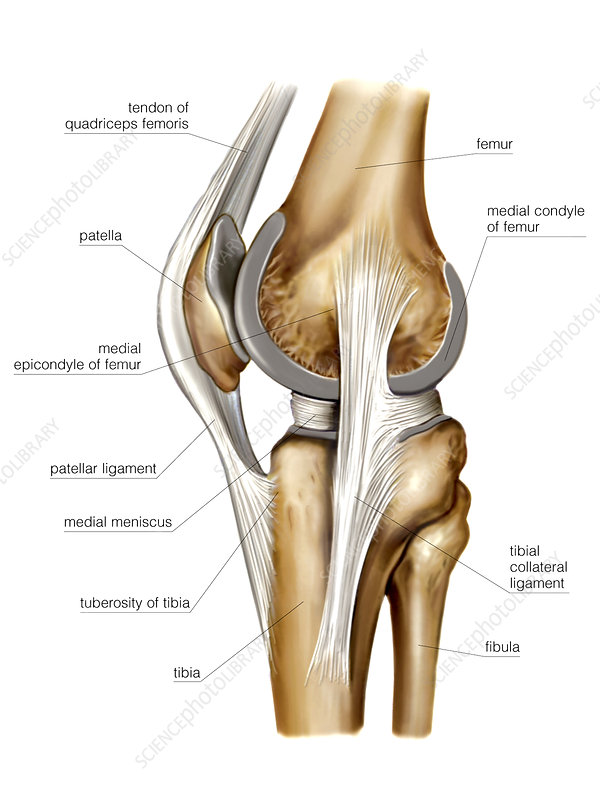 Knee joint, artwork