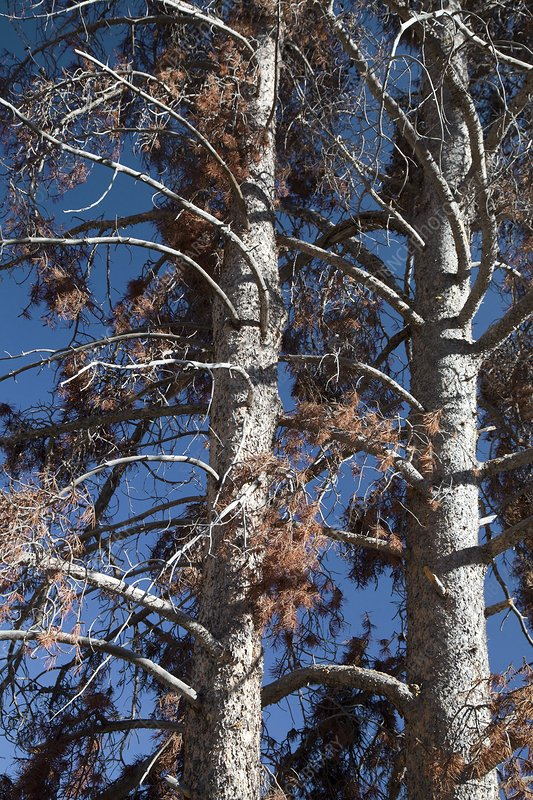 Trees killed by mountain pine beetles