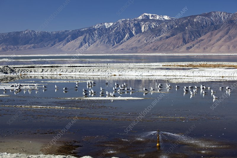 California gulls on Owens lake, USA