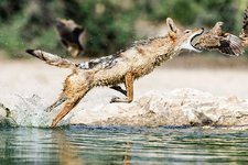 Black Backed Jackal hunting sandgrouse