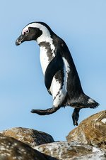 African Penguin leaping between rocks