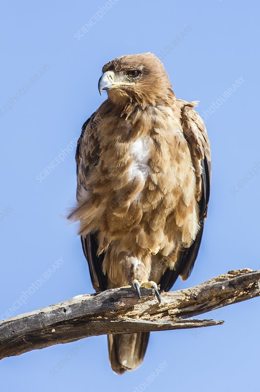 Tawny Eagle on its perch