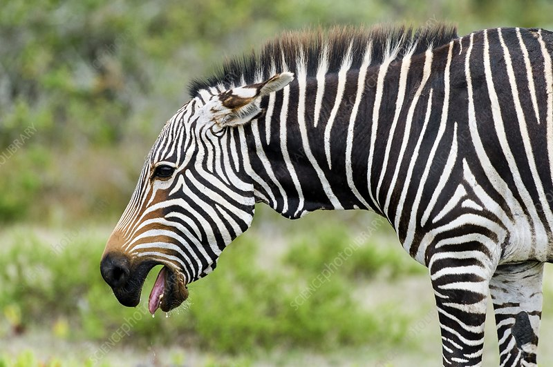 Submissive Cape Mountain Zebra