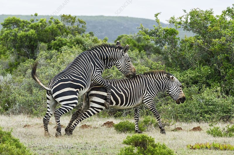 Mating Cape Mountain Zebras